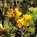 Pultenaea echinula - Photo (c) M.J. Baker, all rights reserved