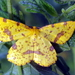 False Crocus Geometer Moth - Photo (c) castanea, all rights reserved