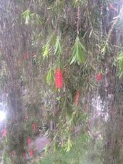 Melaleuca viminalis image