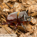 Smooth Ox Beetle - Photo (c) John and Kendra Abbott, all rights reserved, uploaded by John Abbott