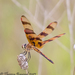 Halloween Pennant - Photo (c) Theresa Bayoud, all rights reserved