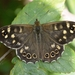 Speckled Wood - Photo (c) Matthew Vosper, some rights reserved (CC BY)