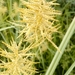 Yellow Nutsedge - Photo (c) paolapalazzolo, all rights reserved