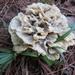 Thelephora vialis - Photo (c) John Ratzlaff, todos los derechos reservados, uploaded by J. Allen Ratzlaff