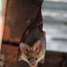 Heart-nosed Bat - Photo (c) Wildlife Travel, all rights reserved