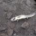 Plateau Tiger Salamander - Photo (c) Enrique Flores, all rights reserved