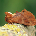 Coxcomb Prominent - Photo (c) Nigel Voaden, all rights reserved