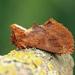 Ptilodon capucina - Photo (c) Nigel Voaden, todos los derechos reservados