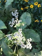 Image of Parthenium integrifolium