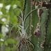 Tillandsia intermedia - Photo (c) quirino, todos los derechos reservados