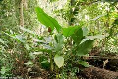 Goeppertia inocephala image