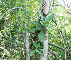 Ficus obtusifolia image