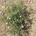 Stellaria dichotoma - Photo (c) jpaule, כל הזכויות שמורות