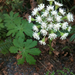 Western Sweet Coltsfoot - Photo (c) sjenniferc, all rights reserved, uploaded by Sarah Jennifer