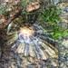 Patella depressa - Photo (c) bluefern, todos los derechos reservados