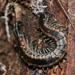 Scolopendra laeta - Photo (c) liz_macraild, todos los derechos reservados