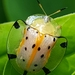 Spotted Tortoise Beetle - Photo (c) nathanoi, all rights reserved