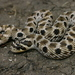 Mexican Hognose Snake - Photo (c) Michael Price, some rights reserved (CC BY-NC-ND)