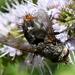 Deopalpus hirsutus - Photo (c) Jay Keller, all rights reserved, uploaded by Jay L. Keller