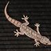 Brook's House Gecko - Photo (c) Hari, some rights reserved (CC BY-NC-ND)
