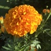 Mexican Marigold - Photo (c) isteeve, all rights reserved