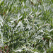 Tilesius Wormwood - Photo (c) Wendy Feltham, all rights reserved