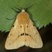 Spilosoma lutea - Photo (c) Raniero Panfili, todos los derechos reservados