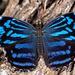 Mariposa Bufón Mexicana - Photo (c) DinGo OcTavious, todos los derechos reservados