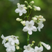 White-wand Beardtongue - Photo (c) Eric Hunt, all rights reserved