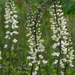 White Wild Indigo - Photo (c) Eric Hunt, all rights reserved