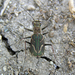 Imperfect Tiger Beetle - Photo (c) Nate Kohler, all rights reserved