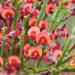 Daviesia brevifolia - Photo (c) andrewsteward, todos los derechos reservados