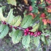 Coralberry - Photo (c) Cherrie-lee P. Phillip, all rights reserved