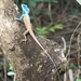 Blue Crested Lizard - Photo (c) Narjess Hamecha-Daniels, all rights reserved