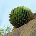 Queen Victoria Agave - Photo (c) Jose de la Luz, all rights reserved