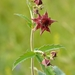 Marsh Cinquefoil - Photo (c) Ivar Leidus, some rights reserved (CC BY-SA)