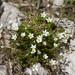 Sabulina verna - Photo (c) Anne, todos los derechos reservados