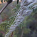 Arizona Cottontop - Photo (c) Aaron Balam, all rights reserved