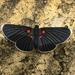 Mariposa Ónix de Puntas Blancas - Photo (c) cfong, todos los derechos reservados