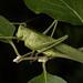 Great Green Bush-Cricket - Photo (c) Konstantinos Kalaentzis, all rights reserved