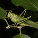 Great Green Bush-Cricket - Photo (c) Konstantinos Kalaentzis, all rights reserved