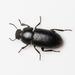 Opatroides punctulatus - Photo (c) Konstantinos Kalaentzis, todos los derechos reservados