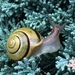 Cepaea hortensis - Photo (c) jtuttle, todos los derechos reservados