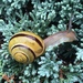 White-lipped Snail - Photo (c) jtuttle, all rights reserved