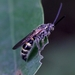 Campsomeriella annulata - Photo (c) Agnes Trekker, all rights reserved
