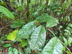 Guatteria amplifolia image