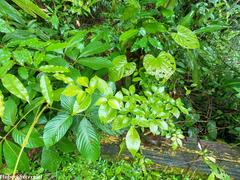 Psychotria chagrensis image