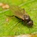 Megaselia - Photo (c) RUIZ Jean Marc, all rights reserved