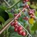 Autumn Olive - Photo (c) Anisha Nag, all rights reserved