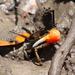 Tubuca coarctata - Photo (c) mythier, כל הזכויות שמורות